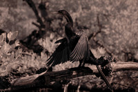 Anhinga's wings are almost dry, Commodore Creek